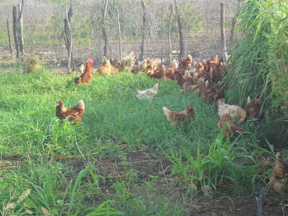 avicultura alternativa - Vários