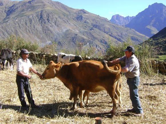 Comunidad Santa Catalina - Ganado lechero