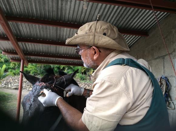 Cociendo la frente - Equinos