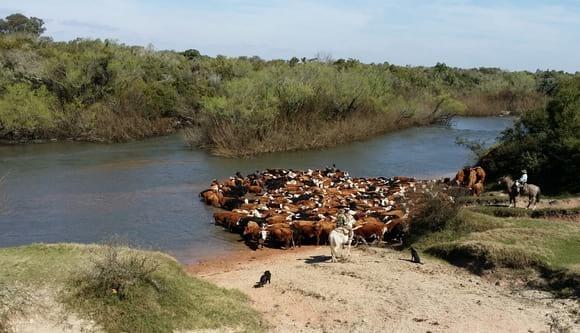 Cruzando el Rio Olimar con 450 vacas de Invernada - Estancias del Uruguay