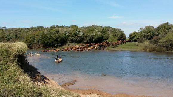 Terminando de cruzar el Rio Olimar a nado con 450 vacas - Estancias del Uruguay