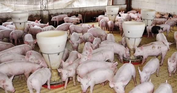 Carbonato de Calcio Consumo Porcinos - Varias