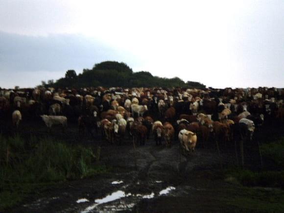 MANEJO ROTATIVO DE GADO - pasturas perenes de inverno