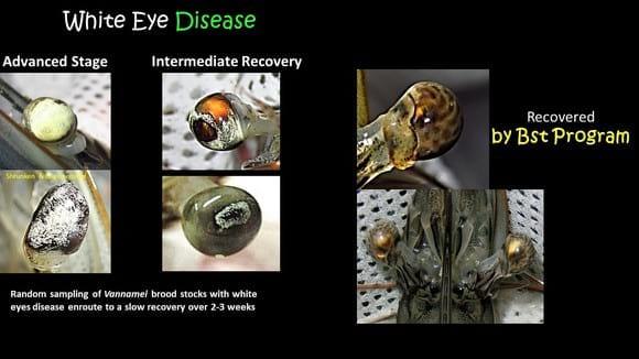 Shrimp White Eyes Disease - Various