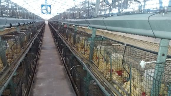 alojamiento de pollita - crianza comercial