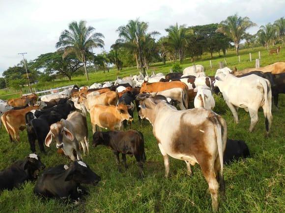 Sistemas  Agrosilvopastorines -  Ganadería  cebuina