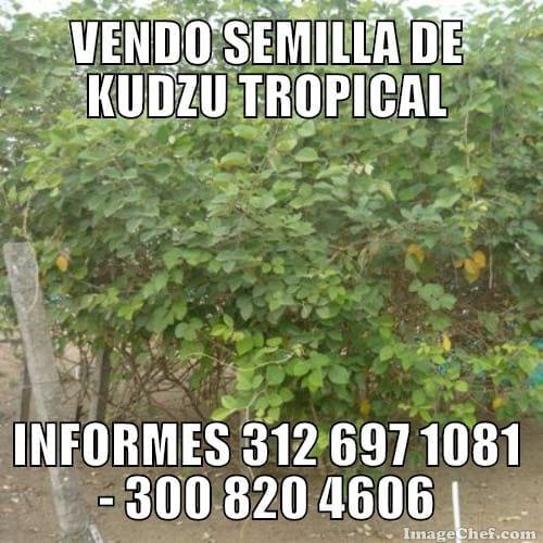 KUDZU TROPICAL - Potreros Establecido de manera exitosa en el departamento de Cordoba
