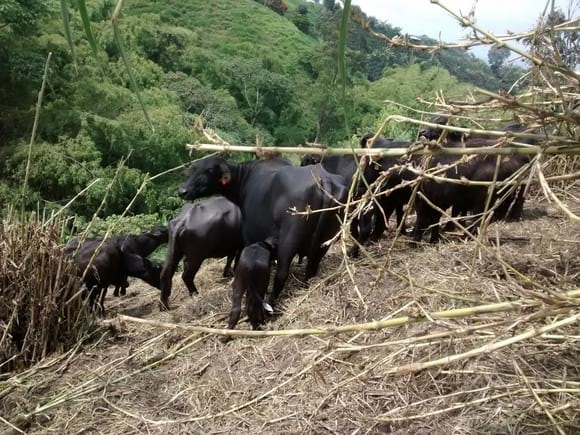 ganasal bufalos - Varias