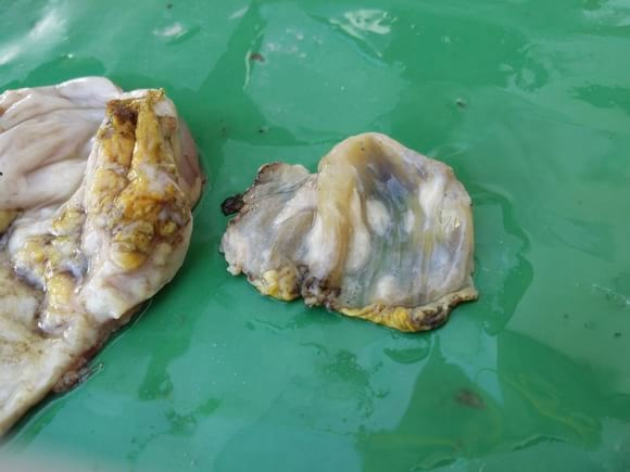 gizzard (left) and cuticle (right) - Black content and Gizzard errosions