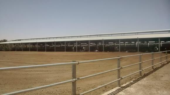 Herding Instinct in Dairy Cows - Various