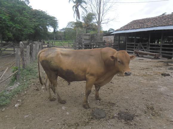 Ranchero L30 - Ganado Reyna Finca el Pino Rivas Nicaragua