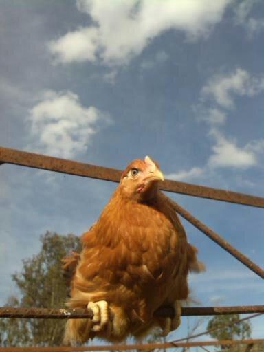 pollas 16 semanas - Varias