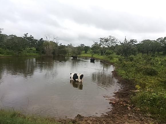 Vaca tomando água no açude. - Varias