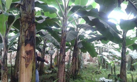 banano organico - Varias