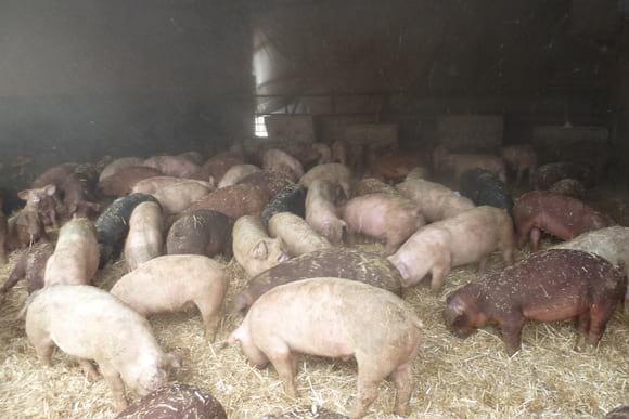 Engorde en cama caliente - Bienestar Animal en Granjas Porcinas