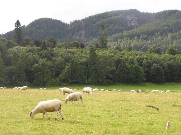 Pastoreio de ovinos (raça Scottish Black Face) - Estadia de pesquisa na Escócia