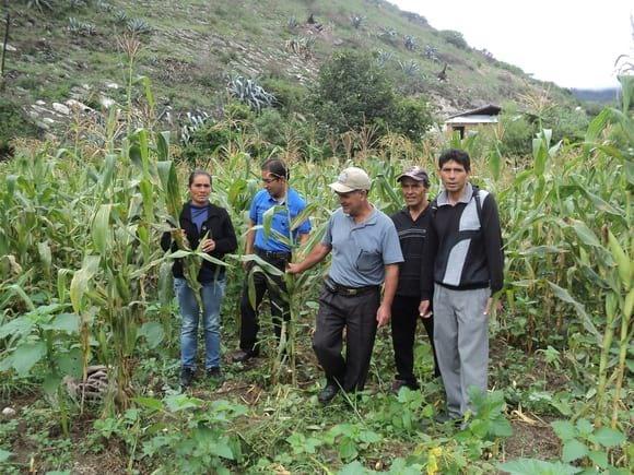 Cultivo de maíz Chala - OLMOS - PERU