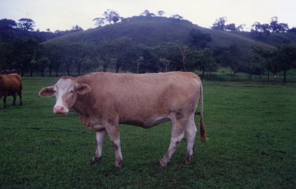 Producción carne bovino. Morelos - Mi actividad