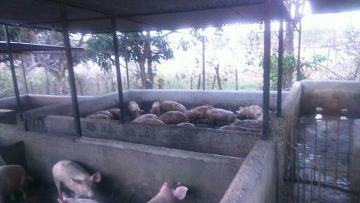 Produccion de cerdos - Varias