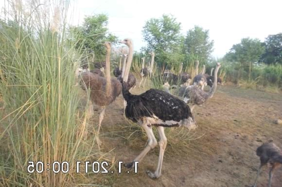 ostrich herd - My activity