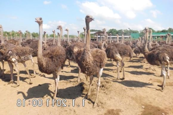 ostrich herd - Clinical issues