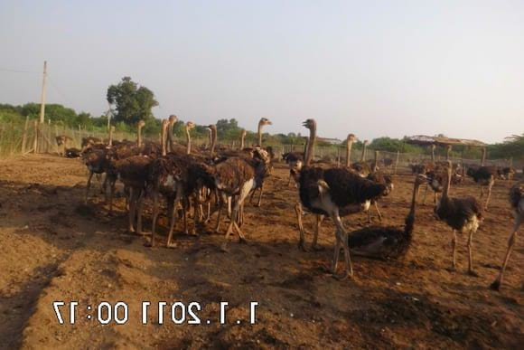 ostrich  broiler - Clinical issues