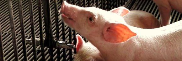 Pig Drinker - Various
