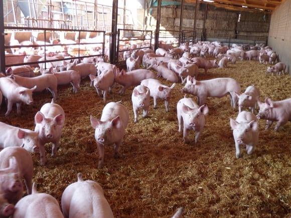 Engorde en paja - Bienestar Animal en Granjas Porcinas
