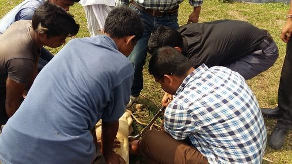 Castration of bull calves... - My activity