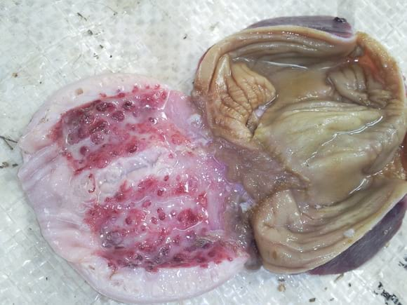 Newcastle Lesion of the proventriculus - Clinical issues