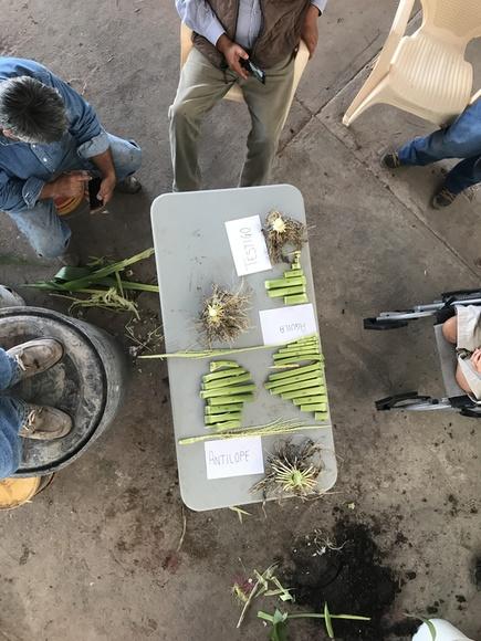 Secciones de tejido de planta de maiz - Mi actividad