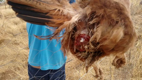 Croaca da ave - Casos clínicos