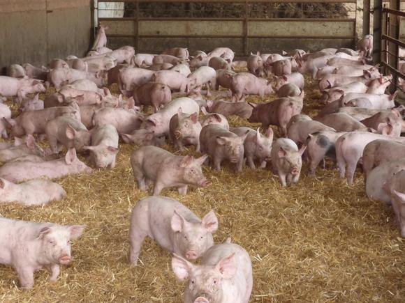 Producción alternativa - Bienestar Animal en Granjas Porcinas