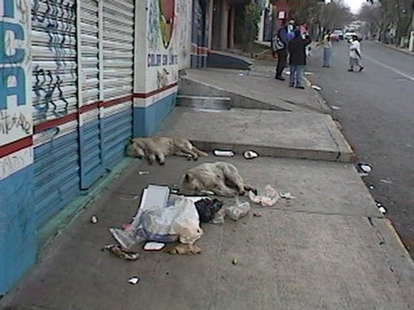 Animales callejeros - LEPTOSPIROSIS