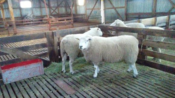 Ganado ovino de lana - Casos clínicos