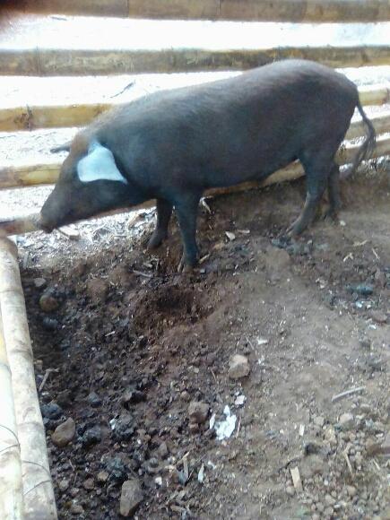 Cerdo Criollo - Cerdos Criollos Salvadoreños