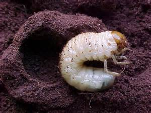 white bug Melolonthidae - My activity