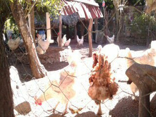Producción gallinas de traspatio - Mi actividad
