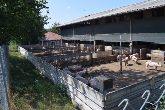 Producción con patios externos - Bienestar Animal en Granjas Porcinas