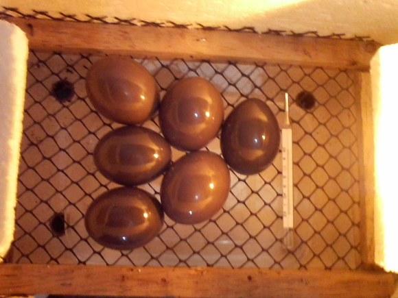 ovos de perdiz - Casos clínicos