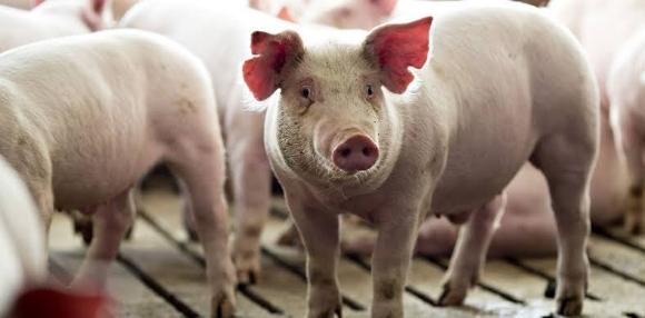 Hola, buenos días, estoy interesado en saber ¿cuales son las enfermedades más comunes en cerdos o padecimientos que deberían alarmar a los dueños de estos cerdos? - Varias