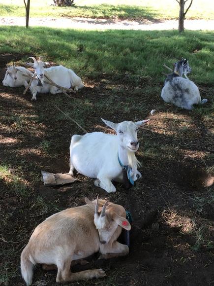 Mis cabras - Mi actividad