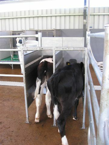 Free access to the DeLaval calf feeder - Clinical issues