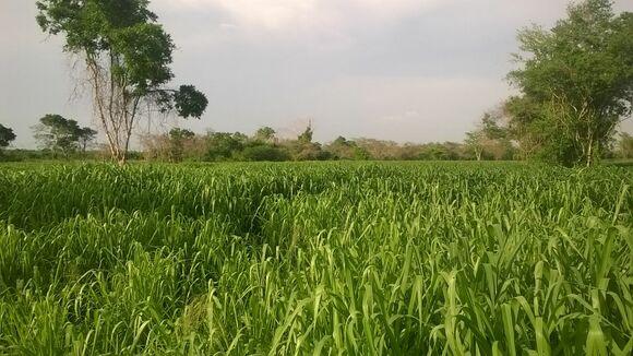 Pasto Mombasa magdalena medio - fotos ganaderias