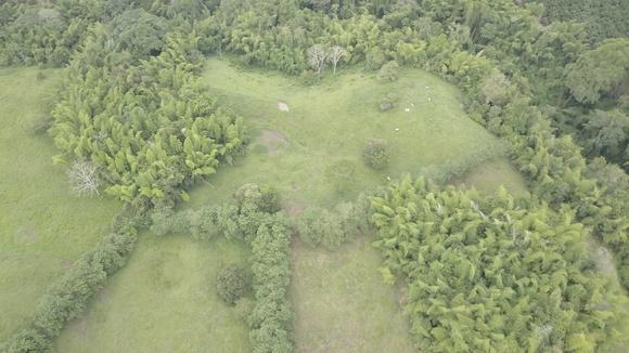 Guaduales y cercas vivas en mataratón ( gliricidia ) ganadería de ceba - fotos ganaderias