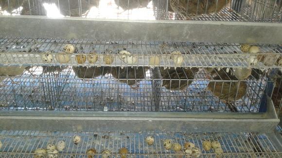 produccion de huevos  codornices - Mi actividad
