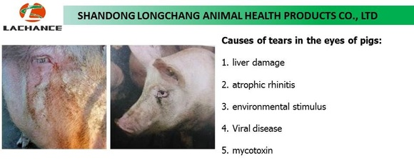 Causes of tear stains of pigs - Clinical issues