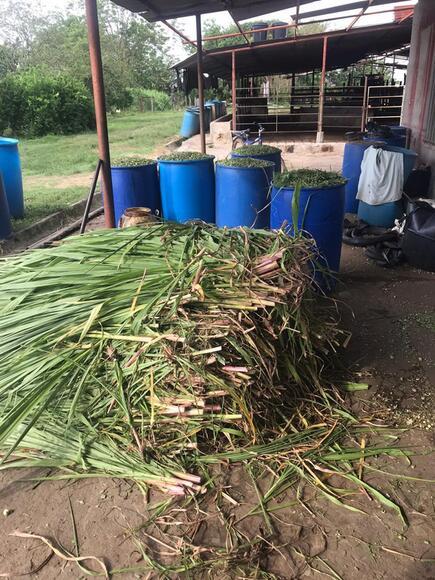 Semilla Pasto Cuba 22 - Varias
