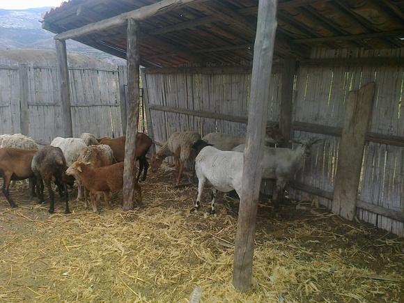 Mis ovejos - Mi actividad