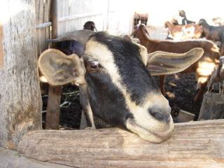 Mis cabritas lecheras, raza anglo (andino) nubianas - Mi actividad